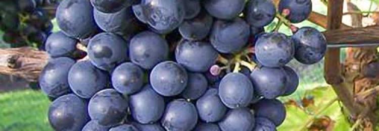 Все о сорте винограда Мускат Блау