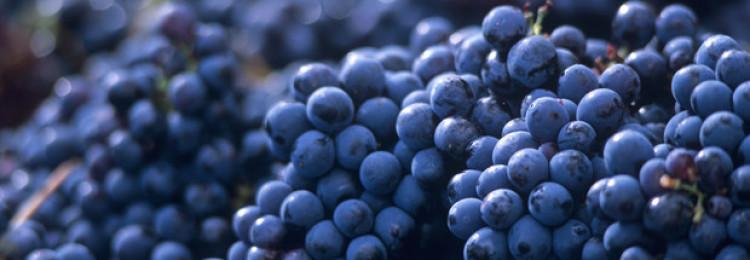 Виноградный сорт Мерло