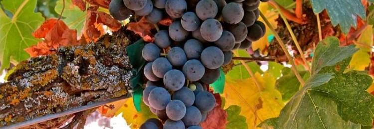 Описание сорта винограда Темпранильо