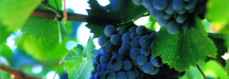 Кишмишный виноград Потапенко