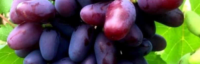 Описание сорта винограда Байконур