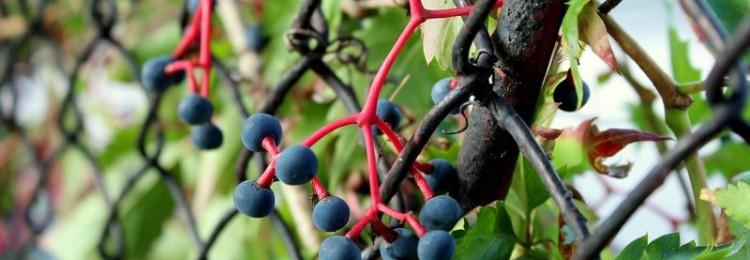Как сажать девичий (дикий) виноград — правила ухода