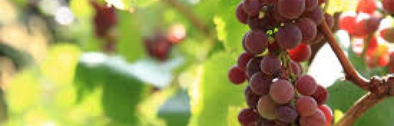 Описание винограда Красный Мускат