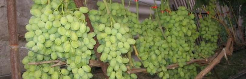 Все самое интересное о виноградном сорте Подарок Запорожью