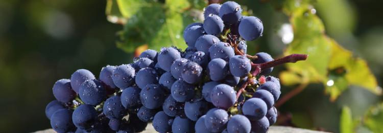 Виноград сорта Каберне Фран