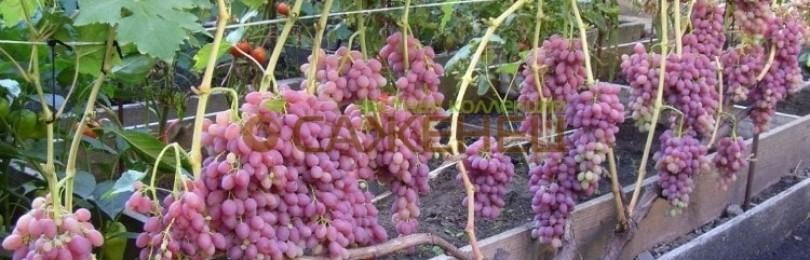 Особенности кишмишного сорта винограда Запорожский
