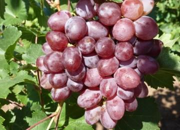 Полное описание сорта винограда Виктория