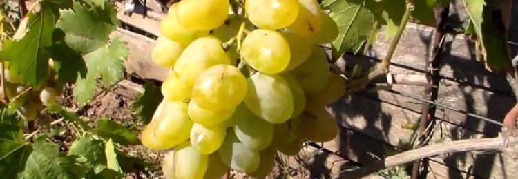 Особенности и характеристики винограда Монарх