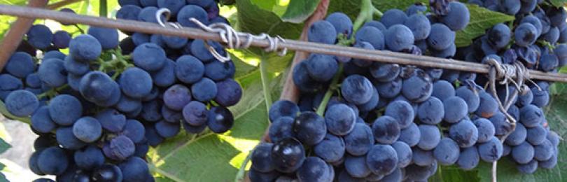 Все о сорте винограда Каберне Кортис