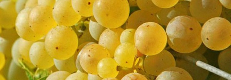 Описание винограда сорта Восторг