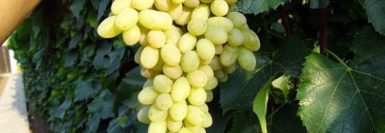 Характеристики виноградного сорта Столетие