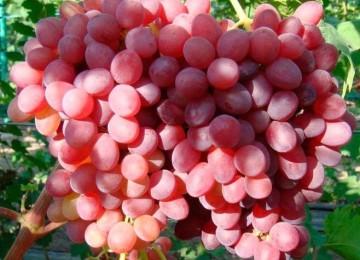 Полное описание винограда сорта Велес