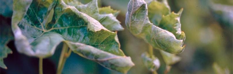 Методы борьбы с оидиумом — защита виноградной лозы