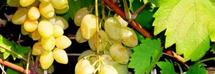 Описание мускатного летнего винограда