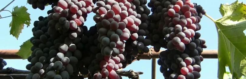 Все о сорте винограда Кишмиш Юпитер