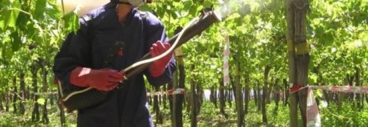 Как обработать виноград железным купоросом весной и осенью?