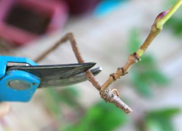 Как размножить девичий виноград?