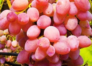Характеристики и выращивание кишмишного винограда Лучистого