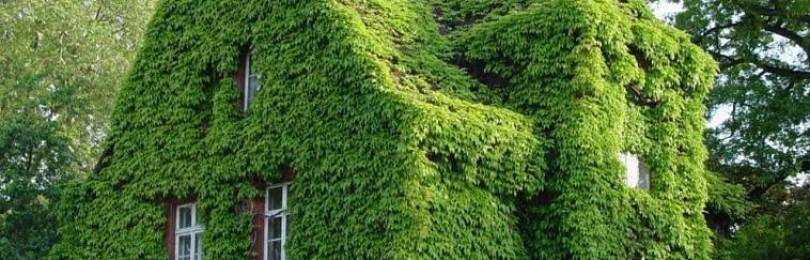 Ландшафтный дизайн с использованием девичьего винограда