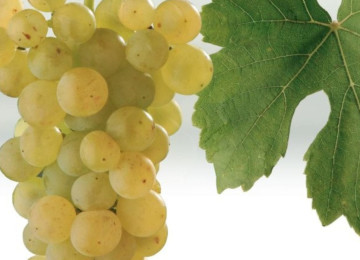 Описание мускатного сорта винограда Оттонель