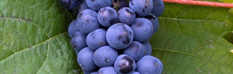 Описание виноградного сорта Триумф