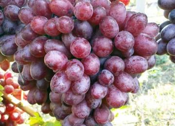 Сорт винограда Новошахтинский мускат