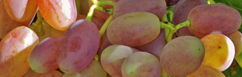 Характеристики сорта винограда Виктор