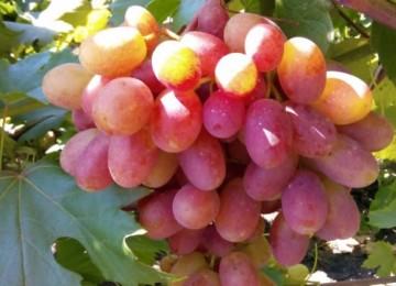 Все о винограде сорта Гурман