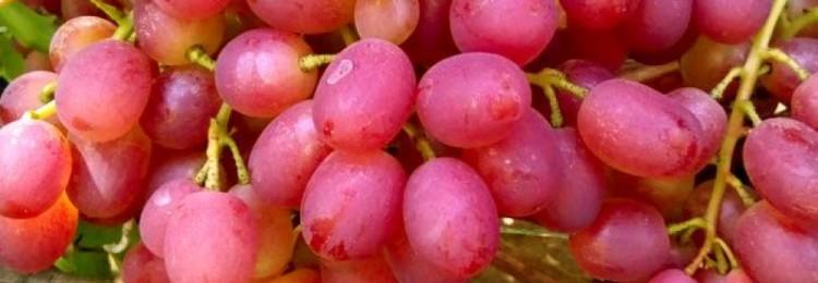 Описание сорта винограда Ливия