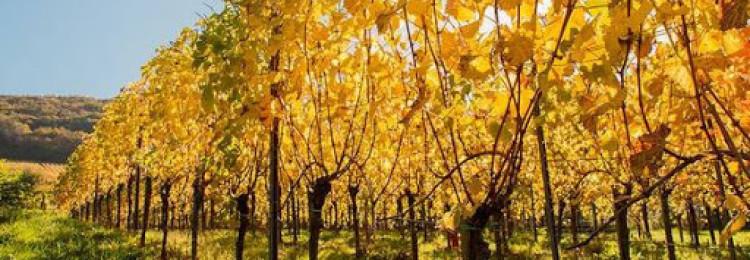 Каким купоросом обрабатывать виноград осенью?