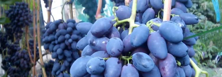 Все о сорте винограда «Кодрянка»