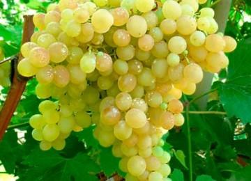 Описание сорта и правила выращивания кишмишного винограда 342