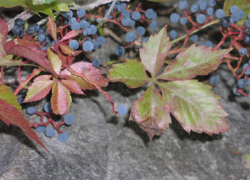 Как вывести дикий виноград с участка