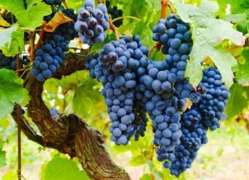 Полное описание сорта винограда Изабелла
