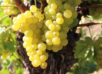 Все о винограде сорта Белый мускат