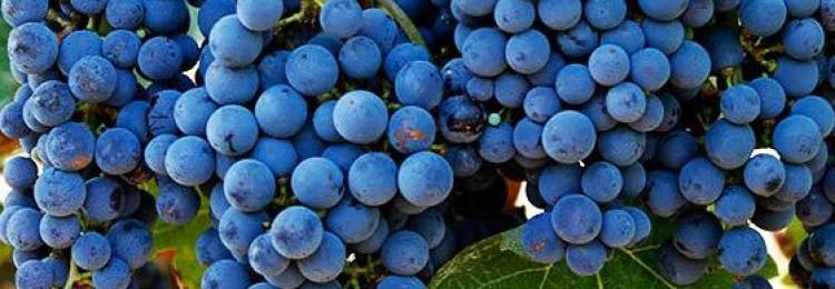 История и описание винограда Каберне Совиньон