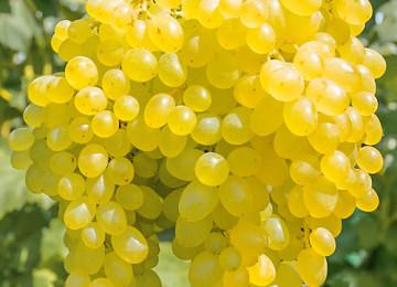 Самый полный гид по винограду Кишмиш