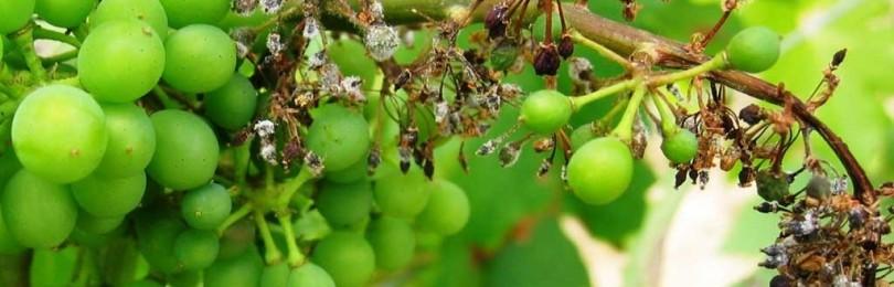 Чем обрабатывать виноград от милдью?