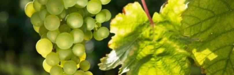 Виноград Итальянский мускат