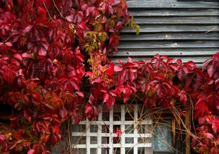 дикий виноград на заборе