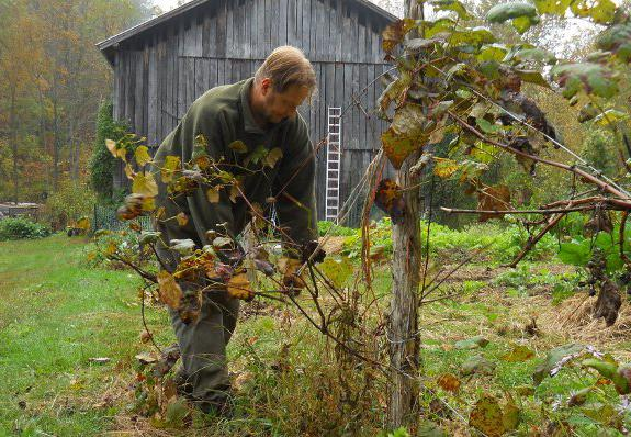 Как избавиться от дикого винограда