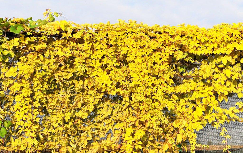 желтый дикий виноград