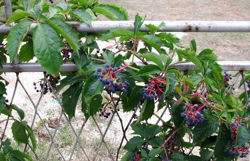 как вывести девичий виноград