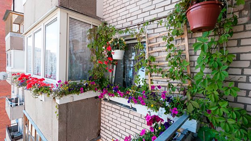 балконное выращивание винограда
