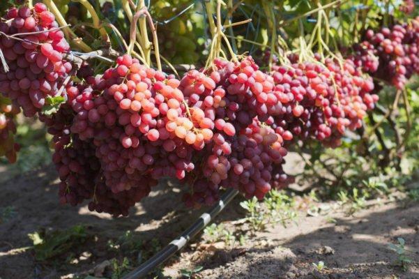 виноградник