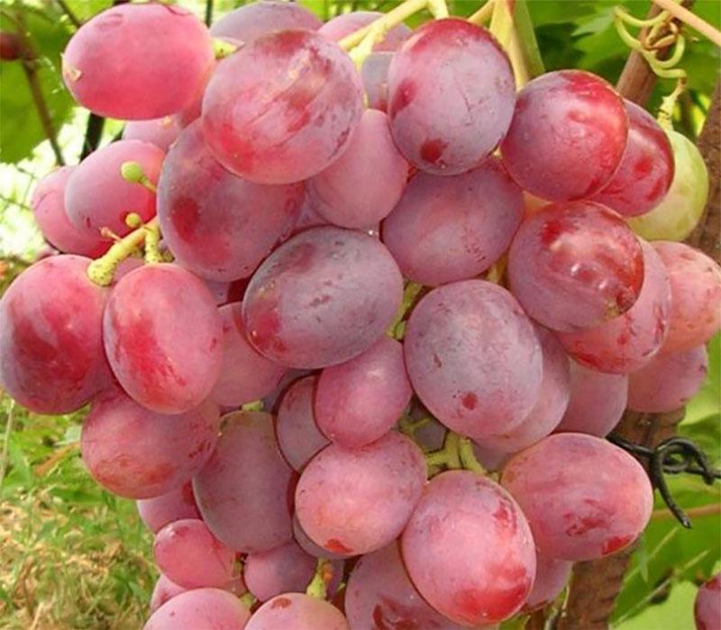 Виноград гурман ранний