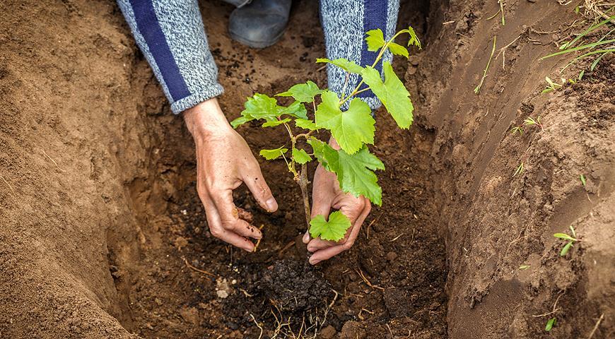 посадки винограда