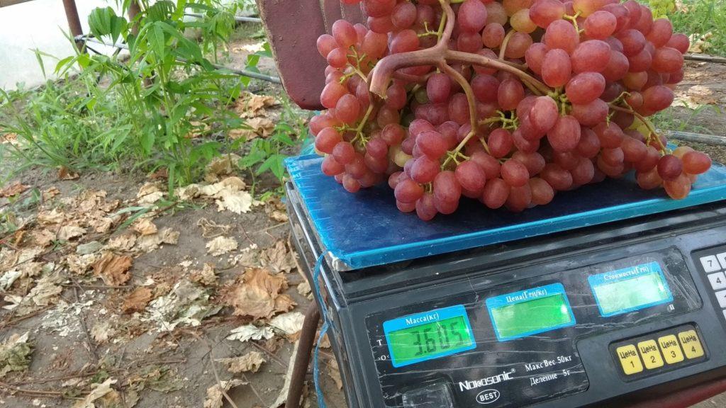 вес винограда велес