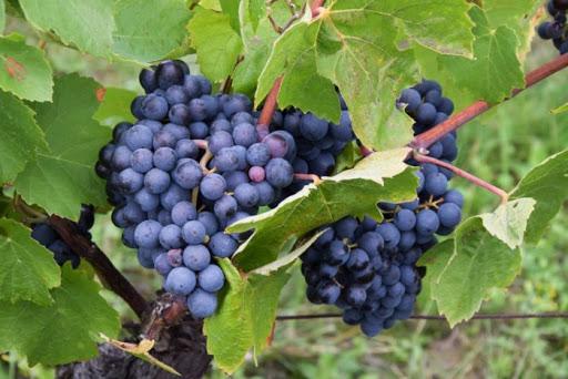 Виноград каберне кортис
