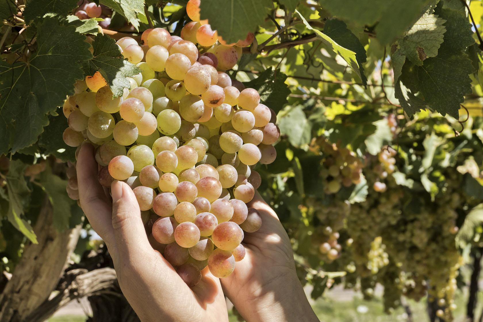 виноград триумф амурский